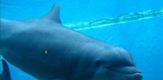 A dolphin at Genoa Aquarium credits Eric Borda