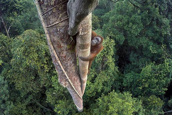 wildlife_photographer_of_the_year_2017 credits © Tim Laman (USA)_Vite intrecciate